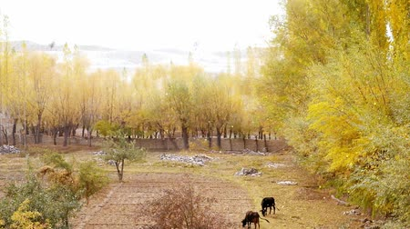 gilgit baltistan : Two black cows grazing at a field in Skardu near the Katpana cold desert. Autumn scene with falling yellow leaves. Gilgit Baltistan, Pakistan. Stock Footage