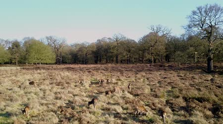 richmond park : Aerial view of deers in the park