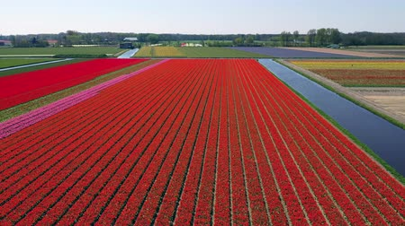 Aerial view of tulip bulb-fields in springtime, Holland, the Netherlands Wideo