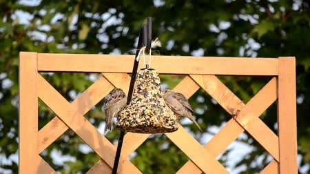 orzechy : Two tough little sparrows fighting on a backyard feeding station Wideo