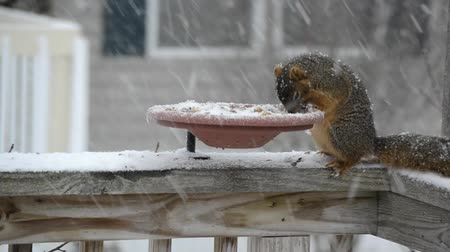 cauda : American Red Squirrel (Tamiasciurus hudsonicus) at a backyard feeder on a snowy winter day