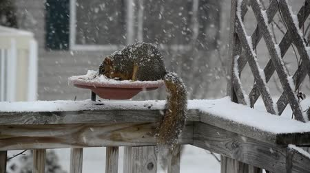 roedor : American Red Squirrel (Tamiasciurus hudsonicus) at a backyard feeder on a snowy winter day
