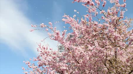 flower : Flowering Cherry