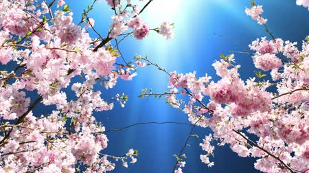 cereja : Magic Springtime Stock Footage