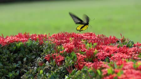 krzak : Butterfly Feeding On A Ixora Flower Wideo