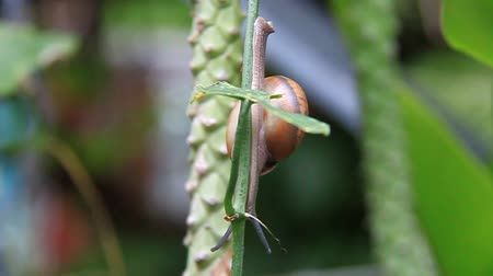 lerdo : Common snail slowly climbing up a stick on a wet morning - competing snails in the background