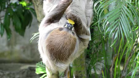 Sloth dwelt on the branches and hung his head, using his three toes on the branches. ... Its eating corn as slowly as the whole world. Stok Video