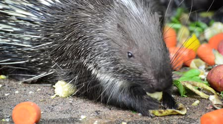 Porcupine  Out of Hollow and eating fruit is food. Stok Video