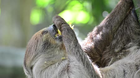 fauna of the tropics : Sloth dwelt on the branches and hung his head, using his three toes on the branches. ... Its eating corn as slowly as the whole world. Stock Footage
