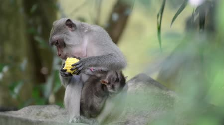 The monkey in the forest eating the corn while breastfeeding