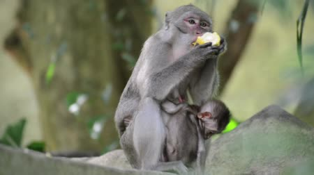 amazonka : The monkey in the forest eating the corn while breastfeeding