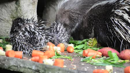 еж : Porcupine  Out of Hollow and eating fruit is food. Стоковые видеозаписи