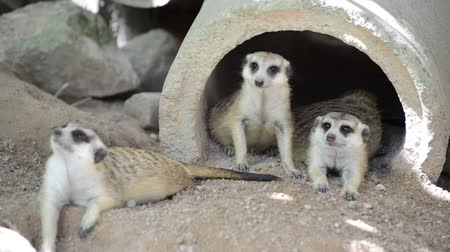 The meerkats resting in the morning