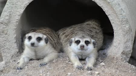 rozhledna : The meerkats resting in the morning