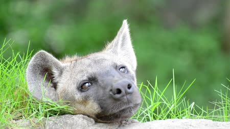 Hyenas resting on the grass.