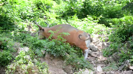 The Brown cow in the forest (Banteng)