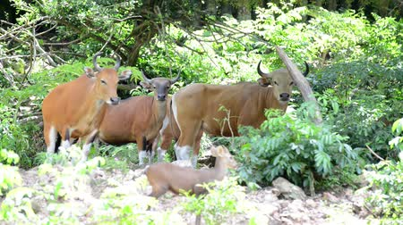 úbere : The Brown cow in the forest (Banteng)