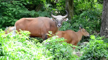 cow farm : The Brown cow in the forest (Banteng)