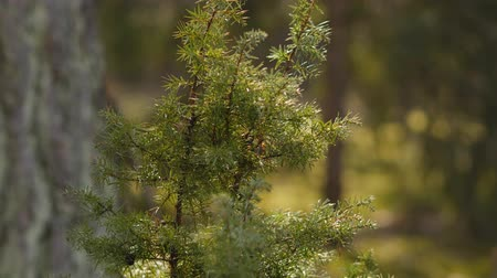 vegetativo : fresh green juniper on a background of a summer pine forest Stock Footage