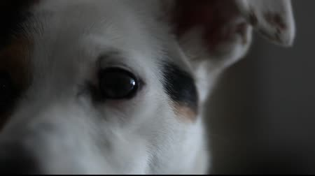 anima : Jack Russell  Eye Stock Footage