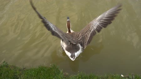 submerge : Goose dip in a lake, rear view.