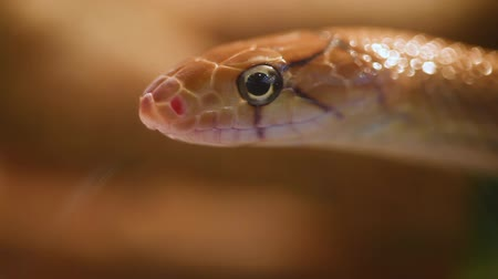 Indonesian jewelry snake or Coelognathus subradiatus. It is a genus of 7 ratsnakes from South and South East Asia. Vídeos