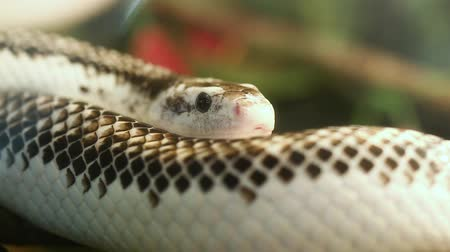 reptile : Pantherophis Obsoleta or Elaphe Obsolete, commonly called Rat Snake.
