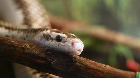 Pantherophis Obsoleta or Elaphe Obsolete, commonly called Rat Snake.