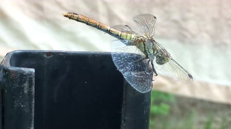Dragonfly withstand strong winds with the help of wings