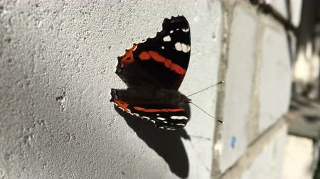 black butterfly sits on a white brick wall