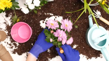 deslocalização : Young woman replanting flowers.
