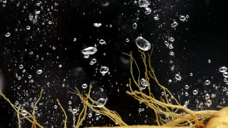 seasonings : Ginseng root in water slow motion Stock Footage