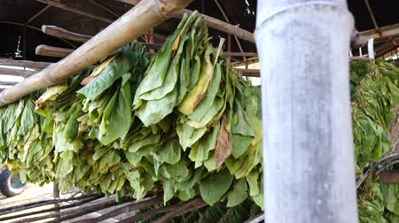 сигарета : Drying tobacco leaf