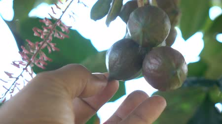 dut : Macadamia on tree slow motion
