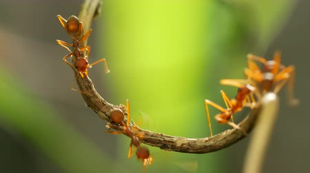 picar : Red ant on tree Stock Footage