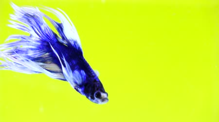 měsíc : Beautiful Siamese Fighting Fish