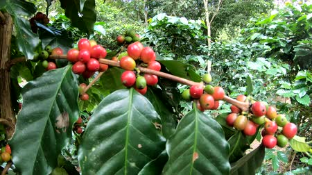 plantio : Coffee berry on tree in slow motion