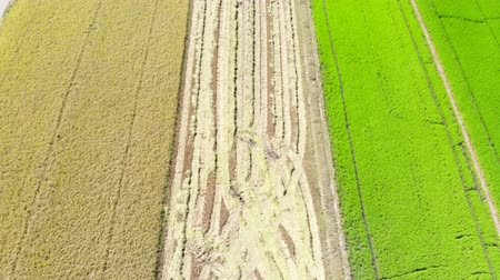 ジャスミン : Aerial view of truck harvesting rice in the field
