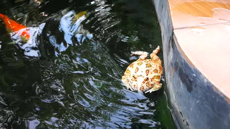 pacífico : frog or Argentine horned frog swimming in fancy carp pool Stock Footage