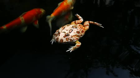 goldfish : Pacman frog or Argentine horned frog swimming in fancy carp pool