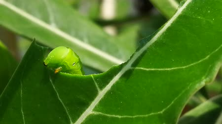 housenka : Pest, Green caterpillar  eating Adenium leaf before transform to larva or chrysalis of  Butterfly Dostupné videozáznamy
