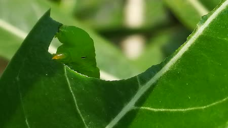 silkworm : Pest, Green caterpillar  eating Adenium leaf before transform to larva or chrysalis of  Butterfly Stock Footage