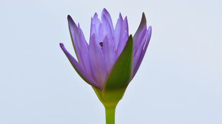 loto : Blooming lotus, time lapse
