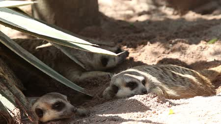 small group of animals : Meerkat Family