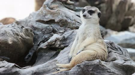 relaks : Meerkat relax guarding on a wood