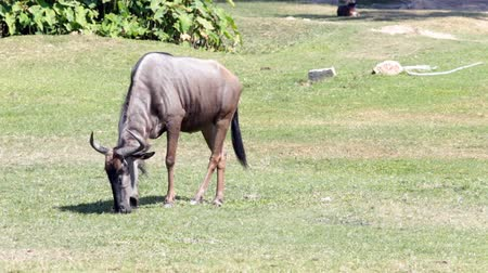 câmara : Blue Wildebeest HD