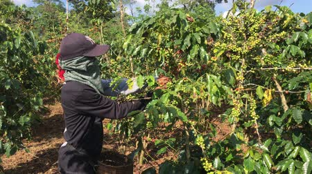 dark roast : Pakxong, Champasak  Laos - October 22, 2019 : Coffee bean collection of farmers in southern Laos.