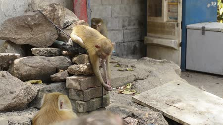 drinking water supply : Little monkey is drinking and playing tap water during summer.