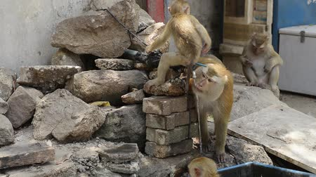 drinking water supply : Brown monkey drinking tap water during summer.