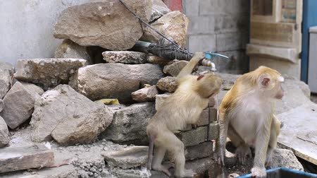 drinking water supply : Female monkey and her kid are drinking tap water during summer. Stock Footage